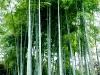 三渓園の竹林