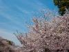 上野公園、満開の桜
