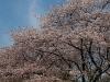 満開の桜吹雪(1)