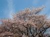 満開の桜吹雪(2)